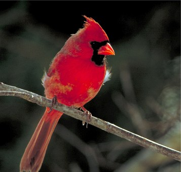 Example of Information Image or Action Image with a cardinal perched on a branch